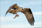 Osprey  with Lunch 23