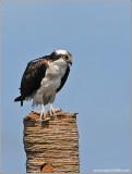 Osprey 24