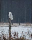 Snowy Owl on Amherst Island 15