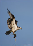 Osprey 26
