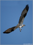Osprey 28