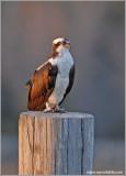 Osprey 31