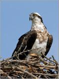 Osprey 32