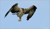 Osprey 33