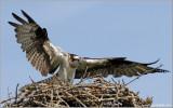 Osprey 34