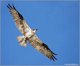 Osprey 40