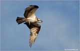 Osprey 41