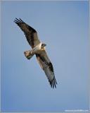 Osprey 44