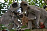 Grey Langer monkeys