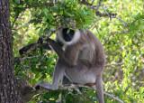 Grey Langer monkey