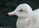 Glaucous Gull / G. bourgmestre