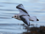 Ross's Gull / Mouette de Ross