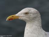 Herring Gull / Goéland argenté
