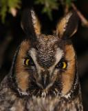 Hibou moyen-duc - Long-eared Owl - 25 Nov 2006