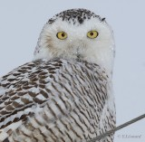 Harfang des neiges 2006-2007 - Snowy Owl  2006-2007
