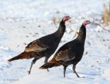 Dindons sauvages - Wild Turkeys