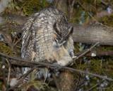 Hibou Moyen Duc - Long-Eared Owl 03-01-07 Boucherville