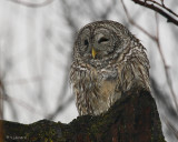 Chouette Rayee - Barred Owl  et Paysages