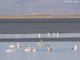 Tundra Swans Bear Lake Refuge b 03_13_07.jpg
