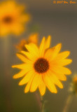 Sunflower 1 08_22_07.jpg