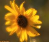 Sunflower 3 08_22_07.jpg