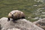 Otter 1 09_19_07.jpg
