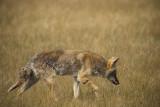 Coyote 2 09_19_07.jpg