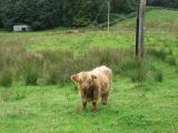 Highland cows near Torosay Castle
