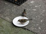 Sparrows cleaning a plate