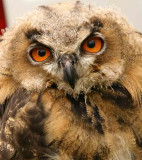 Young Eagle Owl