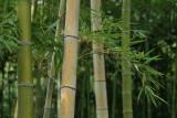 Bamboo bush 2.jpg