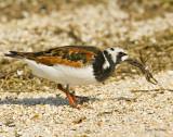 Ruddy Turnstone (Breeding Plumage) with Fiddler Crab