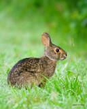 Young Swamp Rabbit
