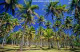 Nativo subindo coqueiro na Ilha de Boipeba.jpg