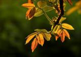 Backlit young walnut leaves