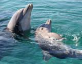 Eilat Reef dolphin's