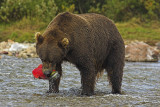 Brown bear with salmon - bruine beer met zalm