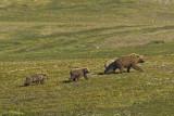 Brown bear with cubs - Bruine beer met jongen