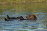 Brown bear relaxing - Bruine beer aan het relaxen