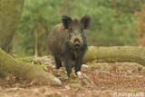 Wild boar - Wildzwijn