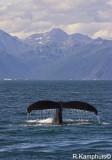 Humback WhaleTale - Bultrug staart