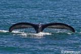 Tale Humpback whale -  Staart bultrug