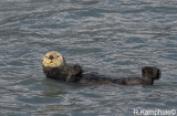 Sea Otter - Zeeotter