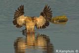 Egyptian goose  -  Nijlgans