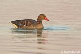 Greylag goose - Grauwegans