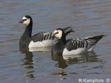 Barnacle goose - Brandgans