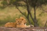 Lion cubs - Leeuwen welpen