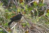 Blackcap female, North Ronaldsay, Orkney