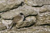 Blackcap male, North Ronaldsay, Orkney