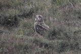 Short-eared Owl, North Ronaldsay, Orkney